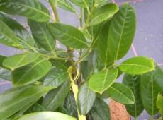 Prunus laurocerasus 'Diana' -Kirschlorbeer-