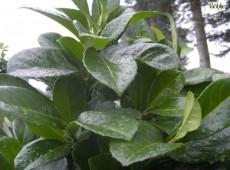 Prunus laurocerasus 'Etna' ® - Kirschlorbeer-