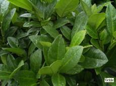 Prunus laurocerasus 'Piri' -Zwerg - Lorbeerkirsche-