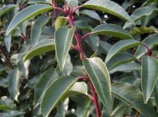 Prunus lusitanica 'Angustifolia' -portugiesische Lorbeerkirsche-