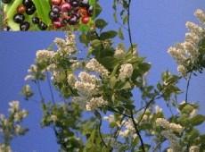 Prunus padus -Trauben- Kirsche-