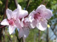 Prunus persica -Zwergpfirsich-