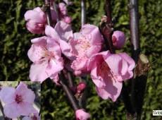 Prunus persicoides 'Spring Glow'