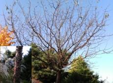 Prunus serrula -Mahagoni Kirsche-