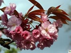 Prunus serrulata 'Kanzan' -hohe Nelkenkirsche-