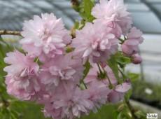 Prunus serrulata 'Kiku-shidare-zakura' -Hängezierkirsche-