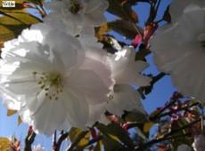 Prunus serrulata 'Shirofugen' -japanische Blütenkirsche-