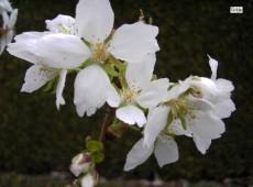 Prunus serrulata 'Taihaku'  -japanische Blütenkirsche-