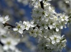 Prunus spinosa -Schlehe-