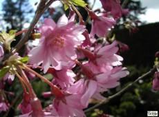 Prunus subhirtella 'Autumnalis Rosea' -Zierkirsche-