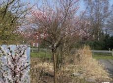 Prunus tomentosa 'Orient' -Zierkirsche-