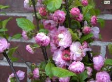 Prunus triloba -Ziermandelbaum-