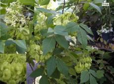 Ptelea trifoliata -Kleeulme-