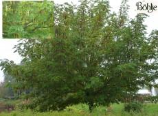 Pterocarya fraxinifolia -Flügelnuss-