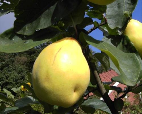Obstgehölze A - Z