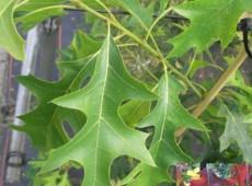 Quercus coccinea 'Splendens' -amerikanische  Eiche / Scharlacheiche-