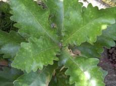 Quercus dentata 'Carl Ferris Miller' -Kaisereiche-