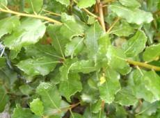 Quercus ilex -Steineiche-
