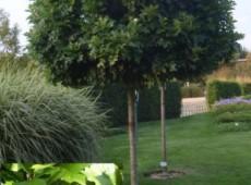 Quercus palustris 'Green Dwarf' -Kugeleiche-