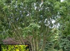 Quercus ponitca -pontische / armenische Eiche-