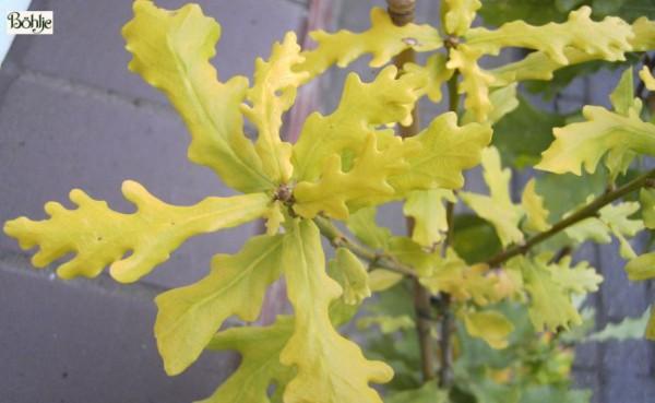 Quercus robur 'Condordia' -gelbblättrige Eiche-