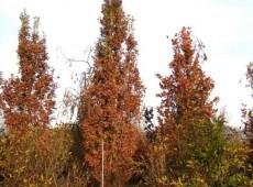 Quercus robur 'Fastigiata' -Säuleneiche-