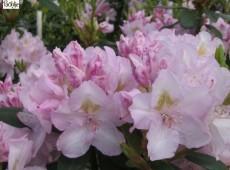 Rhododendron Hybride 'Album Novum'