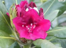 Rhododendron Hybride 'America'