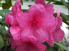 Rhododendron Hybride 'Anne Rose Whitney'