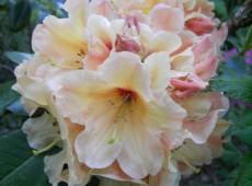 Rhododendron Hybride 'Apricot Fantasy'