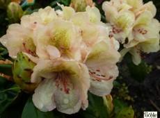 Rhododendron Hybride 'Belkanto' ®
