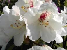 Rhododendron Hybride 'Bellini'