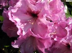 Rhododendron Hybride 'Ben Moseley'