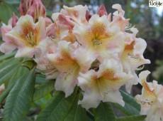 Rhododendron Hybride 'Bernstein'