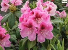 Rhododendron Hybride 'Böhljes Sämling'