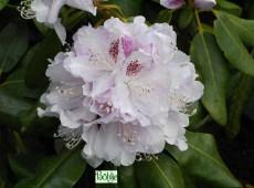 Rhododendron Hybride 'Bismarck'