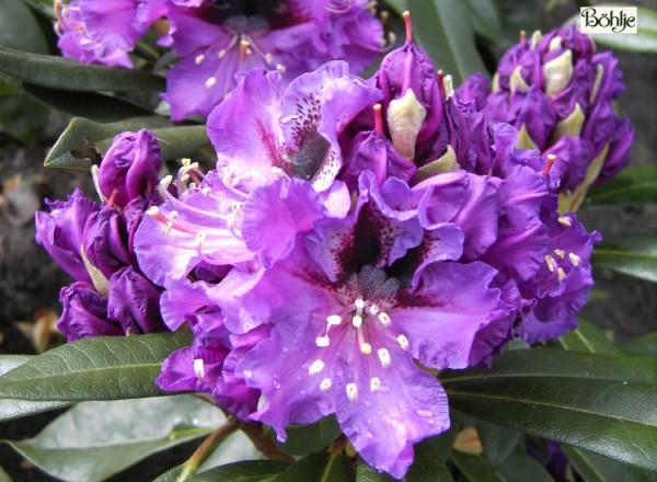 Rhododendron Hybride 'Blaue Jungs'