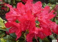 Rhododendron Hybride 'Blinklicht' ®