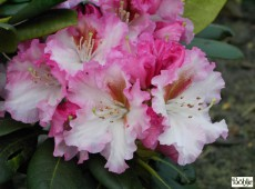 Rhododendron Hybride 'Bohlken's Kronjuwel'