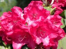 Rhododendron Hybride 'Britannia'