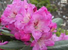 Rhododendron Hybride 'Brown Eyes'