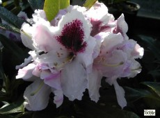 Rhododendron Hybride 'Calsap'