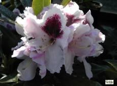Rhododendron Hybride 'Calsap'