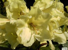 Rhododendron Hybride 'Canary'