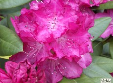 Rhododendron Hybride 'Caractacus'