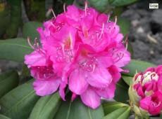 Rhododendron Hybride 'Catharine van Tol'