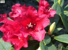 Rhododendron Hybride 'China Boy'
