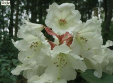 Rhododendron Hybride 'China'
