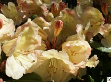 Rhododendron Hybride 'Christian'