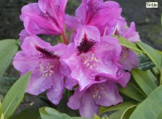 Rhododendron Hybride 'Christiane Herzog'
